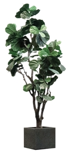 Fiddle Fig - Artificial rental Austin, TX