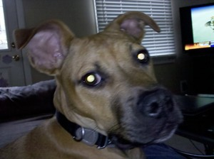Dog boxer mix rental Cedar Rapids-Waterloo-Iowa City, IA